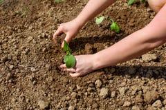 Kobiet ręki zasadza zielonej rozsady w ziemię fotografia royalty free