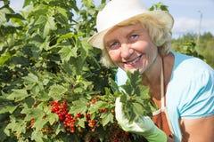 Kobiet zbierackie porzeczkowe jagody w ogródzie fotografia royalty free