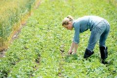 Kobieta agronoma czeków pole z grulami Zdjęcia Stock