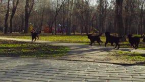 Kobieta bawić się z bernese pasterskiego psa szczeniakami zbiory wideo