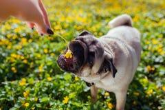 Kobieta bawić się z mopsa psem Szczeniak próbuje łapać kwiatu Pies chodzi w lesie wśród kwiatów Szczęśliwy mopsa pies Zdjęcia Stock