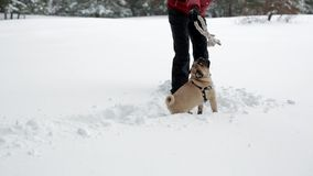 Kobieta bawić się z zabawką i jej mops w głębokim śniegu zbiory