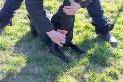 Kobieta bierze opiekę jej labradora szczeniak, zgrzywionego szczeniaka psa włosiany używa muśnięcie zdjęcie stock