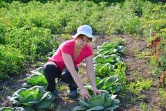 Kobieta bierze opiekę kapusta w ogródzie Obrazy Stock