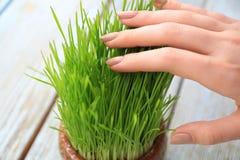 Kobieta bierze opiekę pszeniczne traw rozsady, Obrazy Royalty Free