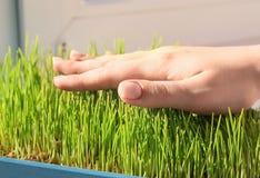 Kobieta bierze opiekę pszeniczne traw rozsady, Zdjęcie Stock