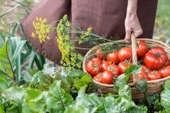 Kobieta carying pomidory w koszu przez jarzynowego ogród Zdjęcie Stock