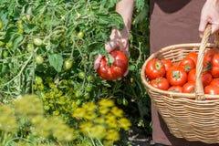 Kobieta carying pomidory w koszu przez jarzynowego ogród Zdjęcie Royalty Free