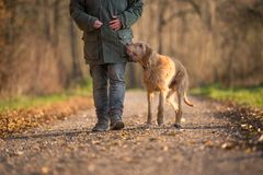 Kobieta chodzi w jesień lesie z jej hungarian vizla psem zdjęcia royalty free