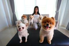 Kobieta ciężarna i pomeranian psi śliczni zwierzęta domowe w żywym pokoju Obrazy Stock