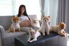 Kobieta ciężarna i pomeranian psi śliczni zwierzęta domowe w żywym pokoju Obraz Stock