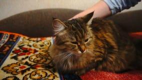 Kobieta Czesze Przysypia kota ` s futerko Popielaty kot Kłama Na koc zbiory wideo