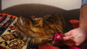 Kobieta Czesze Przysypia kota ` s futerko Popielaty kot Kłama Na koc zbiory