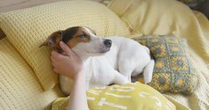 Kobieta delikatnie muska jej psiego Jack Russell Terrier na głowie zbiory wideo