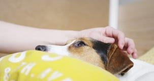 Kobieta delikatnie muska jej psiego Jack Russell Terrier na głowie zbiory