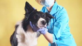 Kobieta dotyka ucho pies w klinice zdjęcie wideo