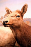 kobieta elk Obrazy Royalty Free