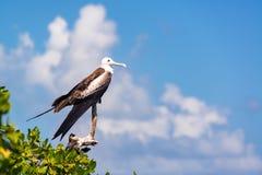 Kobieta Frigatebird i niebo Zdjęcia Royalty Free