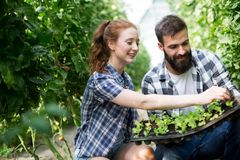 Kobieta i mężczyzna w pomidorowej roślinie przy cieplarnią fotografia royalty free