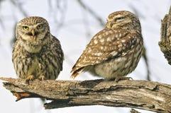 Kobieta i samiec owlets obrazy royalty free