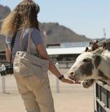 Kobieta Karmi Sycylijskich osły, koguta Cogburn Strusi rancho, P Zdjęcie Royalty Free