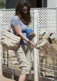 Kobieta Karmi ugoru rogacza, koguta Cogburn Strusi rancho, Picach Zdjęcia Royalty Free