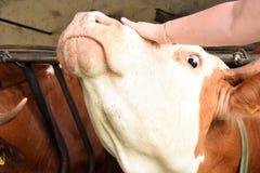 Kobieta muska krowy Obrazy Royalty Free
