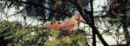 Kobieta Na pinetree zdjęcia royalty free