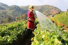 Kobieta nawadnia truskawkowej rośliny od Tajlandia Obrazy Stock