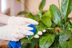 Kobieta odkurza kwiatu Czyścić w domu, czystość w domu Opieka kwiaty fotografia stock