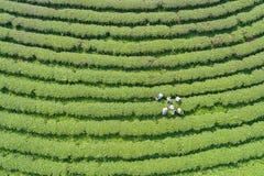 Kobieta pracownik podnosi herbacianych liście przy herbacianą plantacją w północy Fotografia Royalty Free