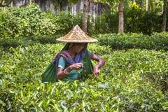 Kobieta pracująca w Herbacianym ogródzie na Moulovibazar, Bangladesz zdjęcia royalty free