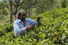 Kobieta pracuje na herbacianej plantaci w Sri Lanka Obrazy Royalty Free