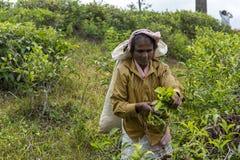 Kobieta pracuje na herbacianej plantaci w Sri Lanka Zdjęcie Stock