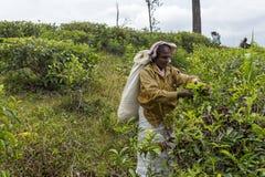 Kobieta pracuje na herbacianej plantaci w Sri Lanka Obraz Stock