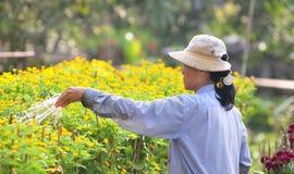 Kobieta pracuje na kwiatu polu w Saigon, południowy Wietnam fotografia stock