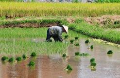 Kobieta pracuje na ryżowym polu w Mekong delcie, Wietnam zdjęcie royalty free