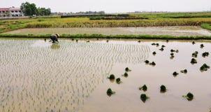 Kobieta pracuje na ryżu polu w Ninh Binh, Wietnam zdjęcie stock