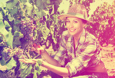 Kobieta pracuje na wytwórnia win jardzie Obraz Stock