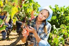 Kobieta pracuje na wytwórnia win jardzie Obrazy Stock