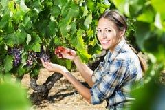 Kobieta pracuje na wytwórnia win jardzie Zdjęcia Royalty Free