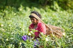 Kobieta pracuje w herbacianej plantaci Zdjęcie Royalty Free