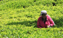 Kobieta pracuje w herbacianej plantaci Obrazy Stock