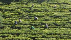 Kobieta pracuje w herbacianej plantaci Obraz Stock