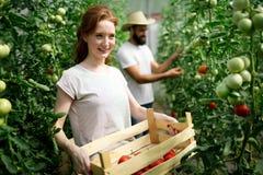 Kobieta pracuje w pomidorowej szklarni Obraz Royalty Free