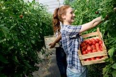 Kobieta pracuje w pomidorowej szklarni Fotografia Royalty Free