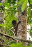 Kobieta przewodząca lemura Madagascar przyroda Zdjęcie Royalty Free
