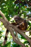 Kobieta przewodząca lemura Madagascar przyroda Obrazy Royalty Free