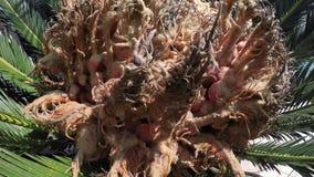 Kobieta rożek Cycas revoluta zdjęcie wideo