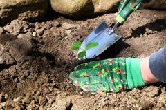Kobieta robi ogrodnictwo pracie z organicznie zieloną rośliną Zdjęcia Royalty Free